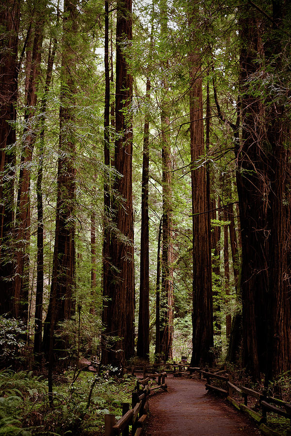 Muir Woods Walking Path In San Fransico California Photograph