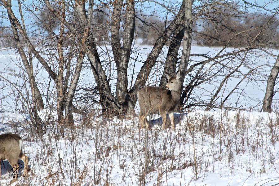 Mule Deer by Ann E Robson