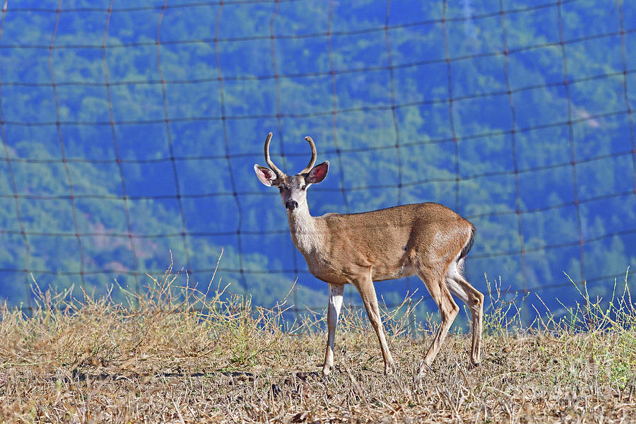 Mule Deer - Behind The Fence Photograph