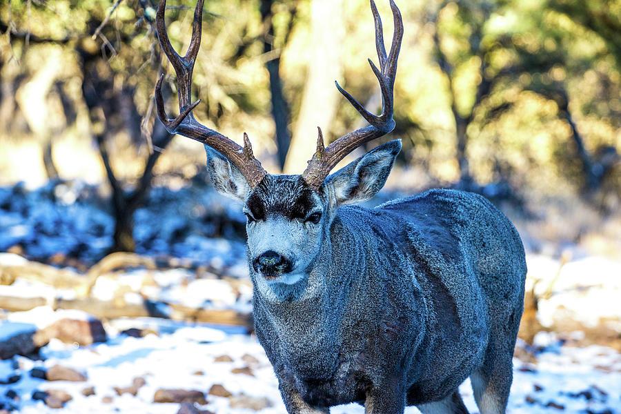 Mule Deer Buck 001134 Photograph