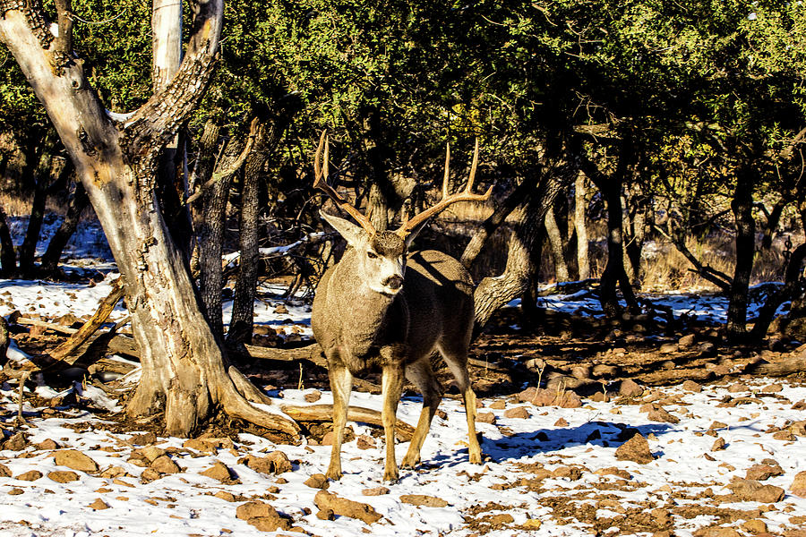 Mule Deer Buck 001197 Photograph