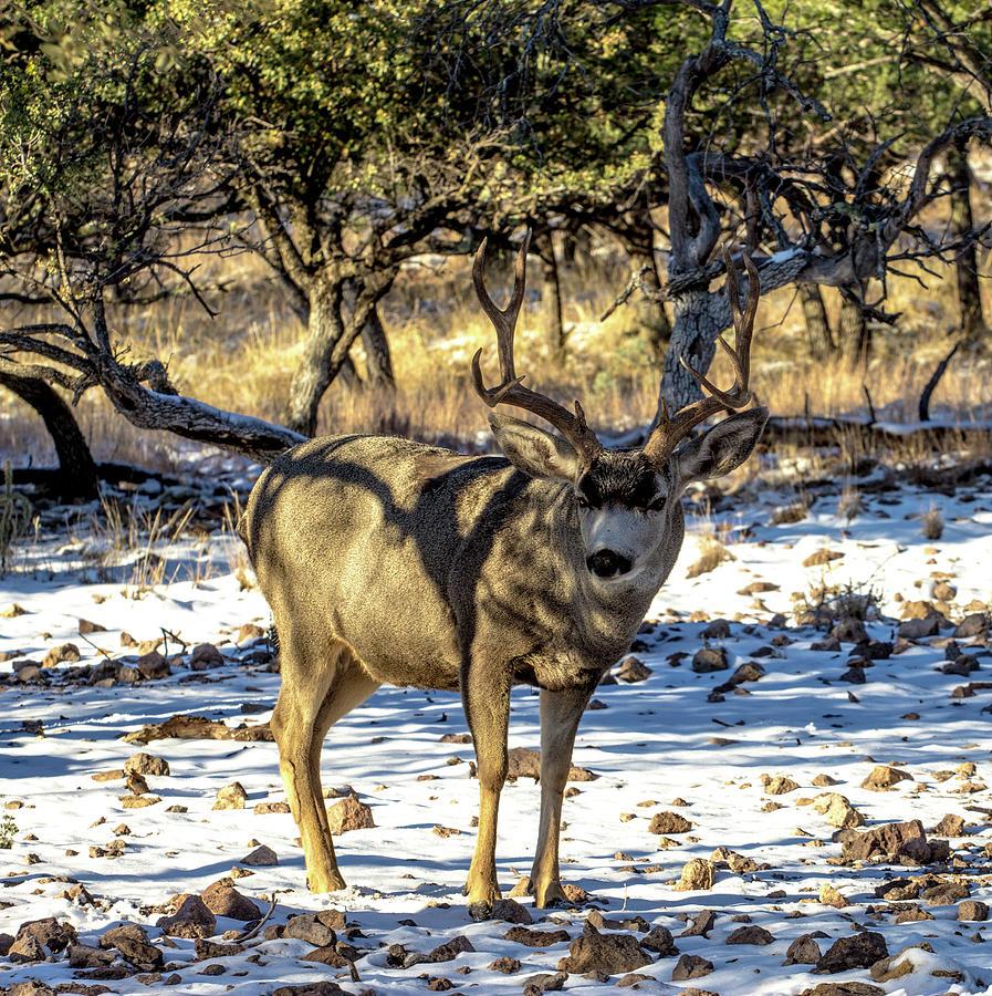 Mule Deer Buck 001200 Photograph