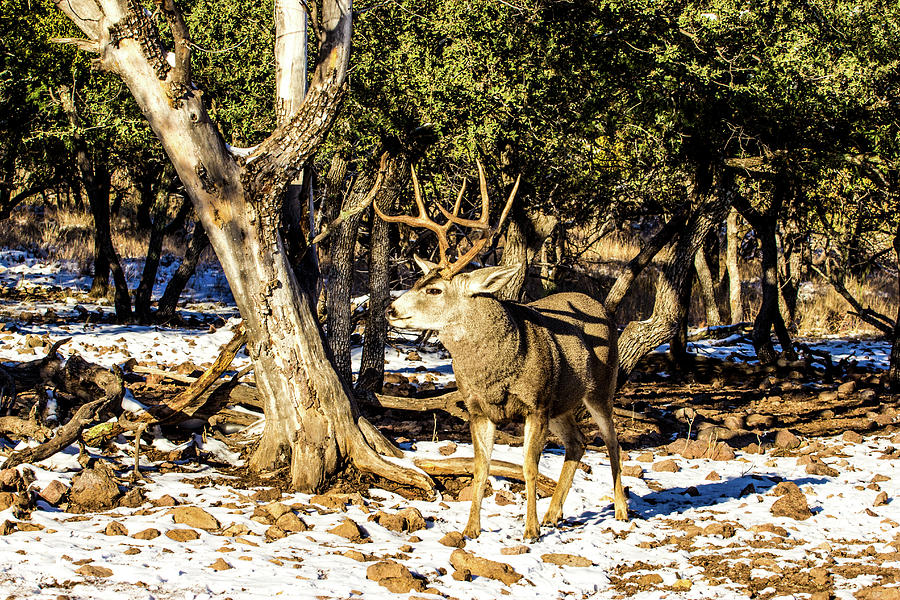 Mule Deer Buck - Attitude 001137 Photograph