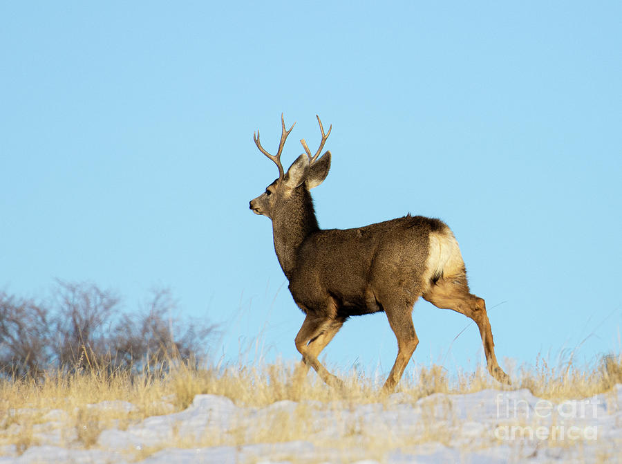 Mule Deer Over The Mountain Photograph