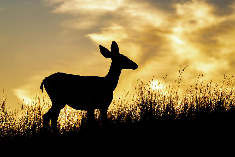 Mule Deer Silhouette by Michael Chatt