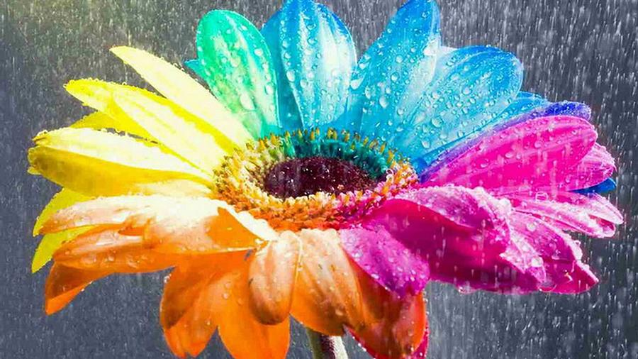 Dew Kissed Multi-color Daisy Digital Art