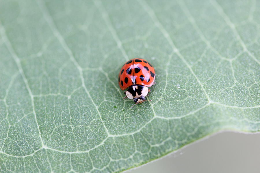 Asian Lady Beetle Photograph - Multi-colored Asian Lady Beetle by Callen Harty