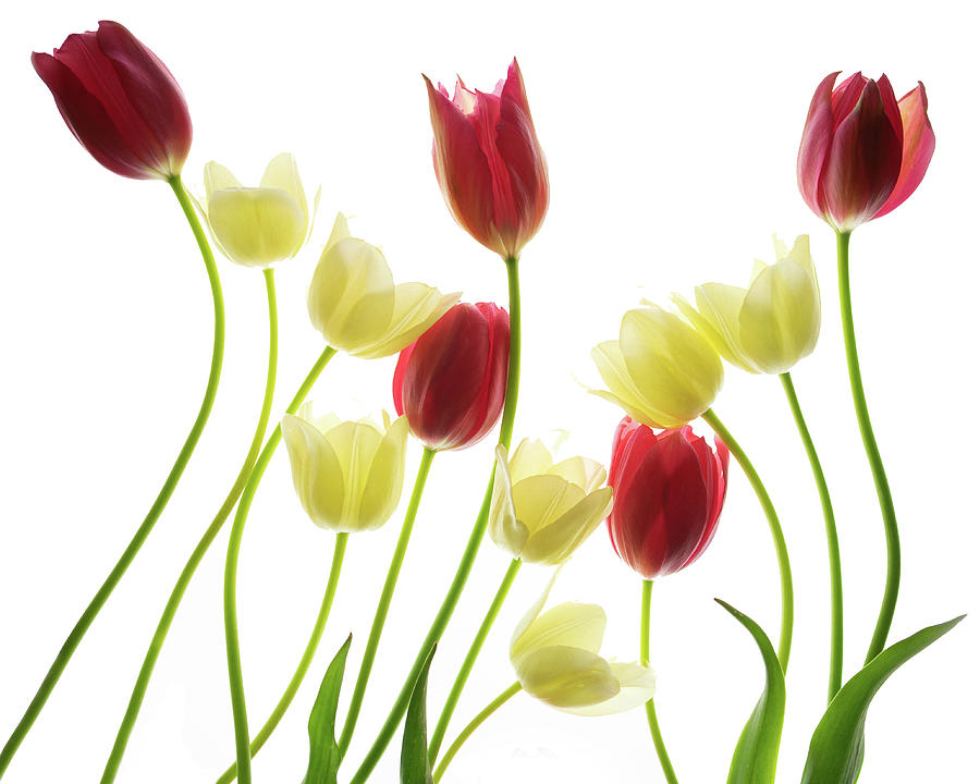 Multi Colored Tulips Photograph