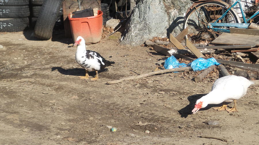 Muscovy Drake And Hen-salvage Monitors Photograph