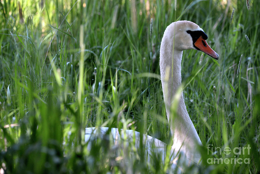 Nest Photograph - Mute Swan 8 by Esko Lindell