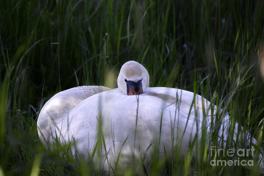 Mute Swan 9 Photograph