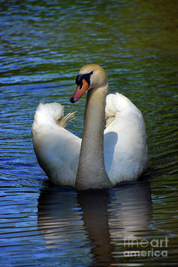Mute Swan Showing Off Photograph