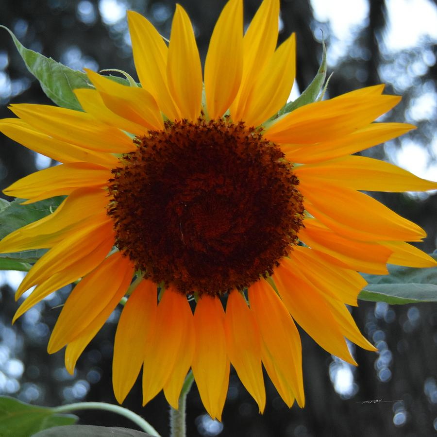 My Last Blooming Sunflower Photograph