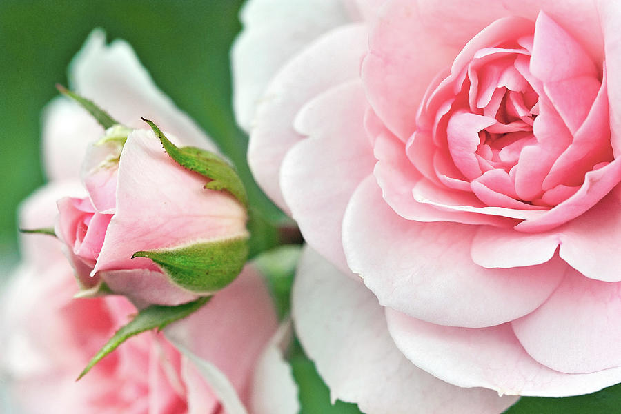 My Mothers Garden Rose Photograph
