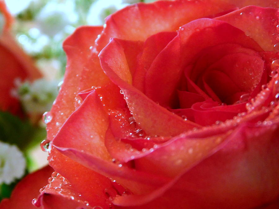 Rose Photograph - My Valentine - 3 by Arlane Crump