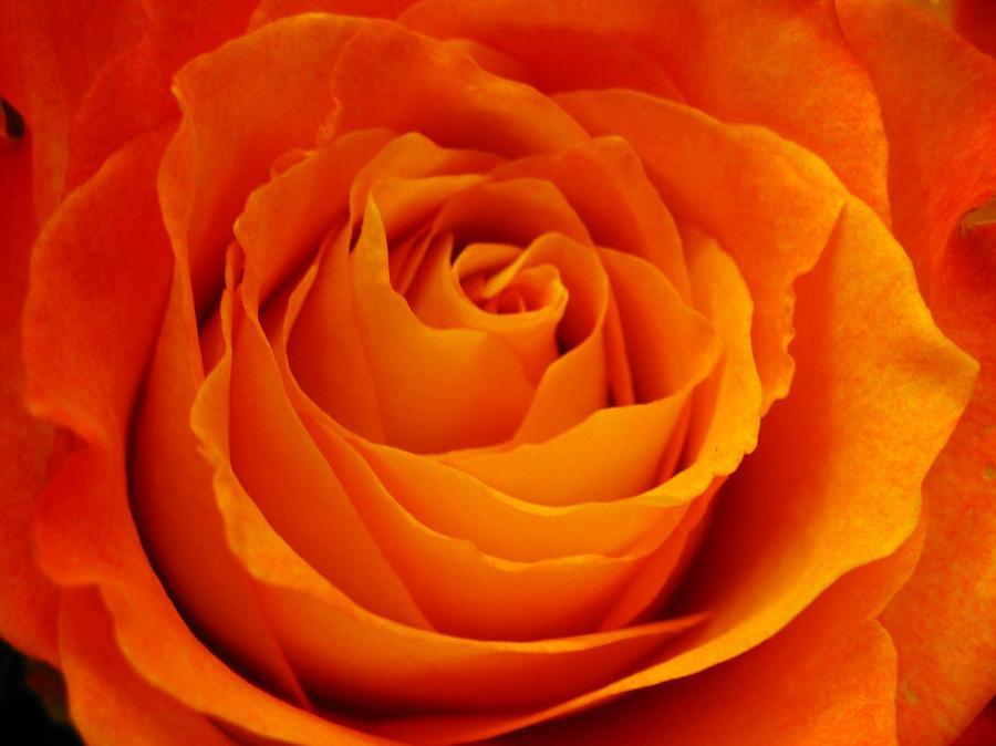 Rose Photograph - Mystic Rose by Rhonda Barrett