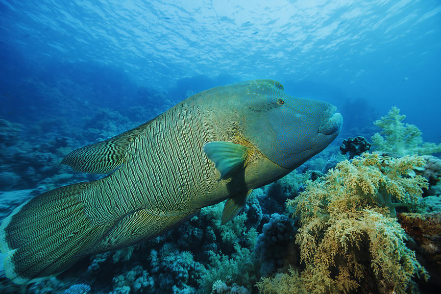 Napoleonfish   Underwater sea life    Coral reef Photograph by Ultramarinfoto