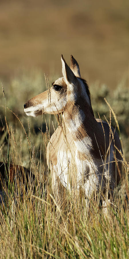 Native American -- Female Pronghorn in Yellowstone National Park, Wyoming by Darin Volpe