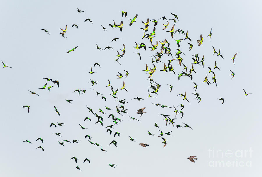 Nature Abstract Photograph - Nature Abstract, Flying Green Parakeet by Felix Lai