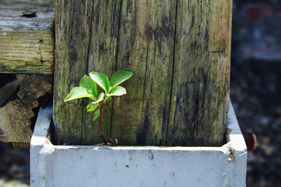 Nature Always Finds A Way. Young Tree Growing From The Foundation Of A Pillar Photograph