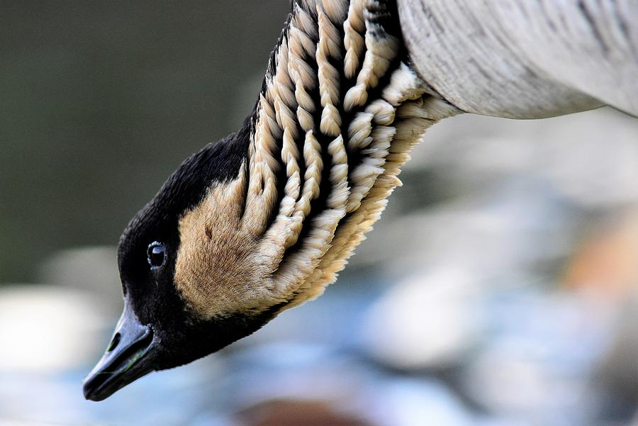 Neck Feathers Photograph