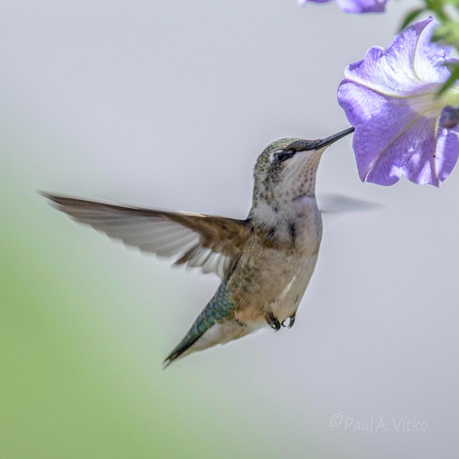 Bird Photograph - Nectar Time by Paul Vitko