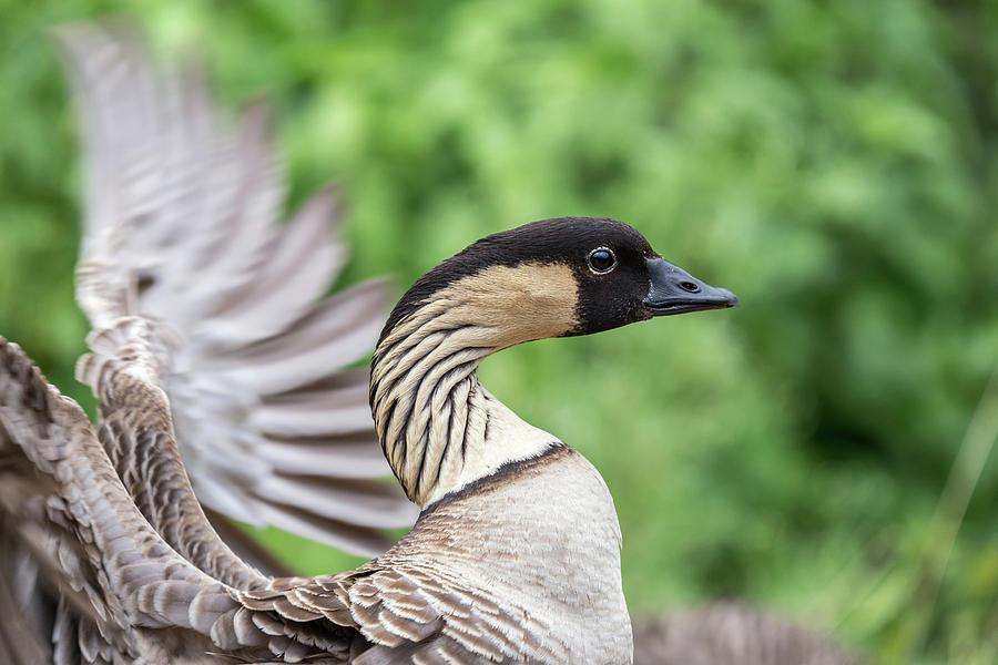 Nene Hawaiian Bird Photograph
