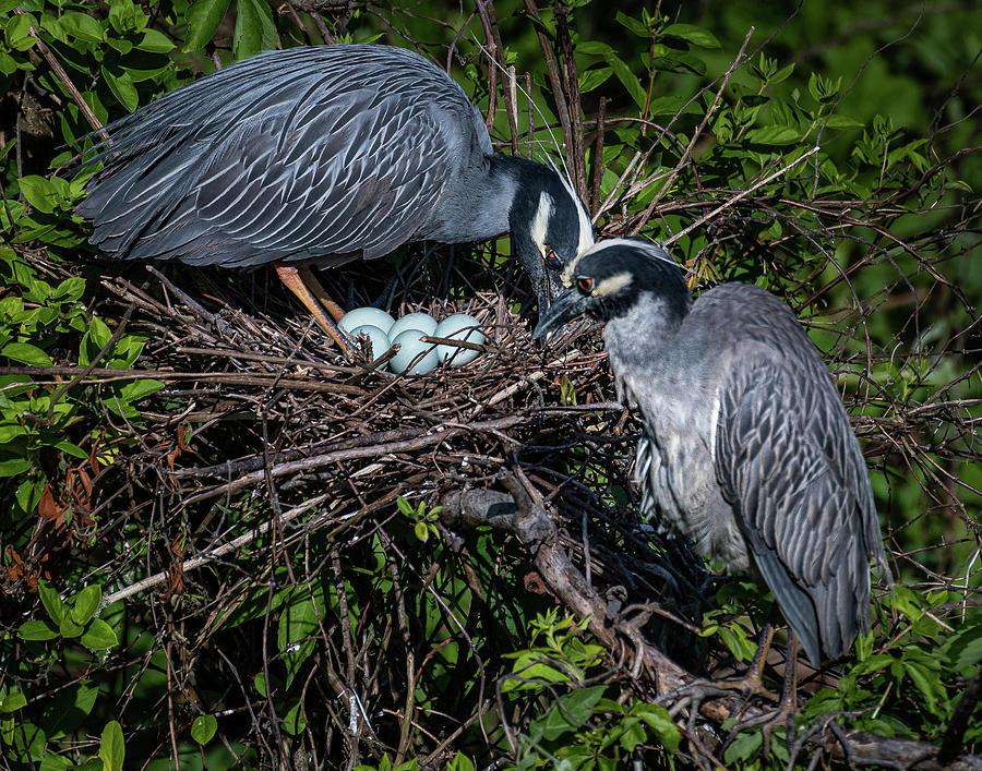 Birds Photograph - Nesting Herons by John Roach