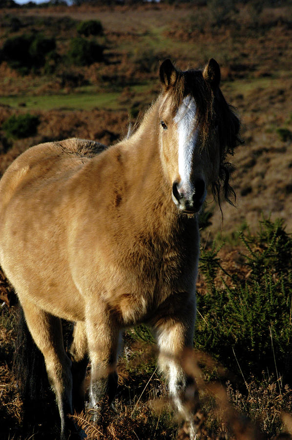 New Forest Pony by Loren Dowding