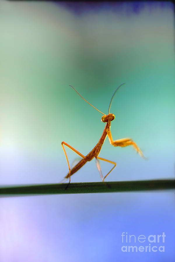 Newborn Praying Mantis Dancing On A Blade Of Grass Photograph