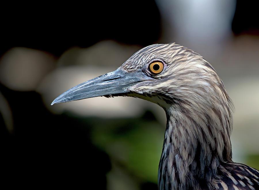 Night Heron Photograph
