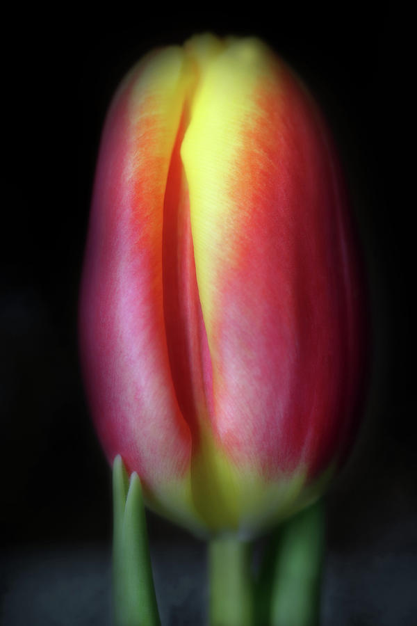 Night Tulip Photograph