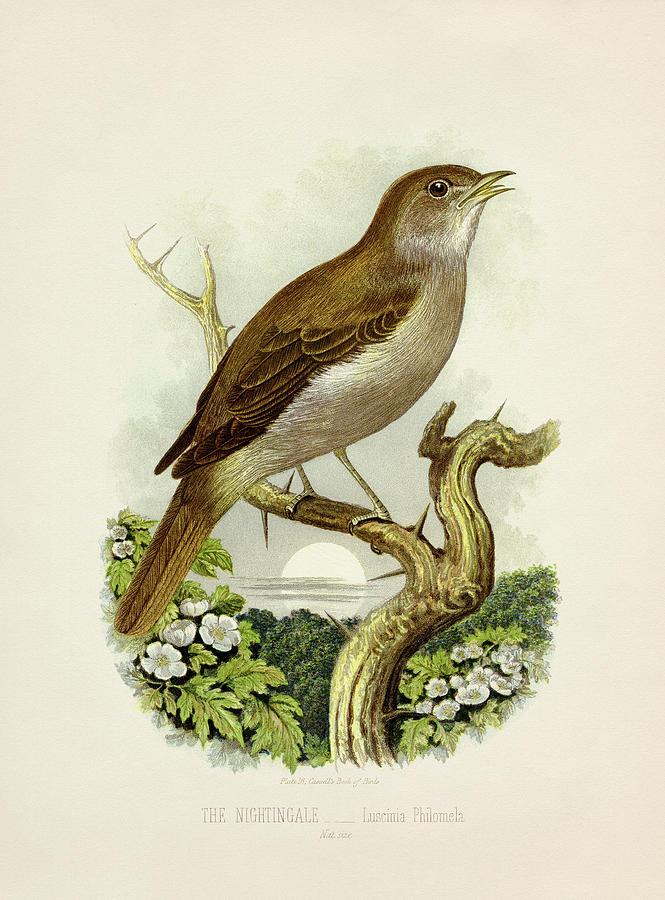Nightingale - Luscinia Philomela Painting