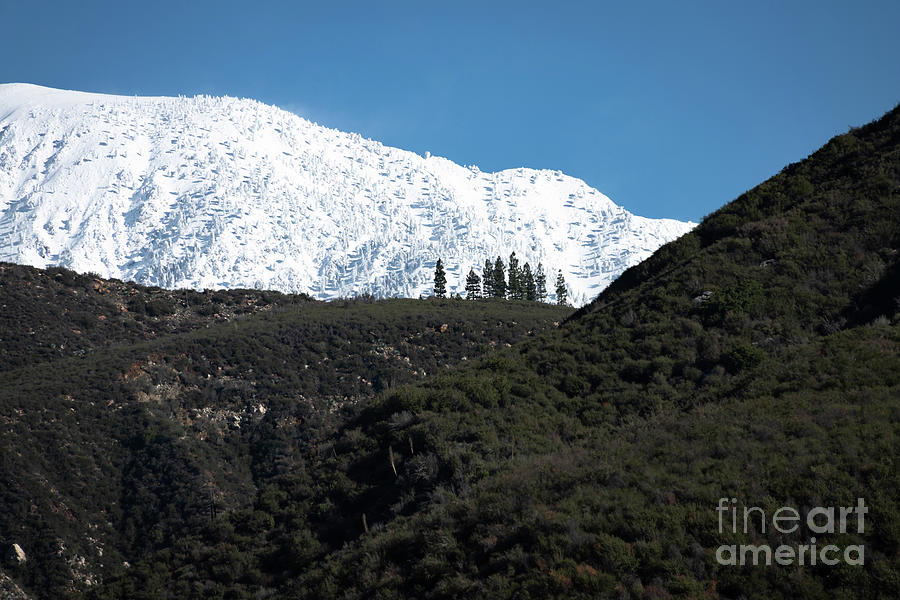 Nine Pines At The Snowline Photograph