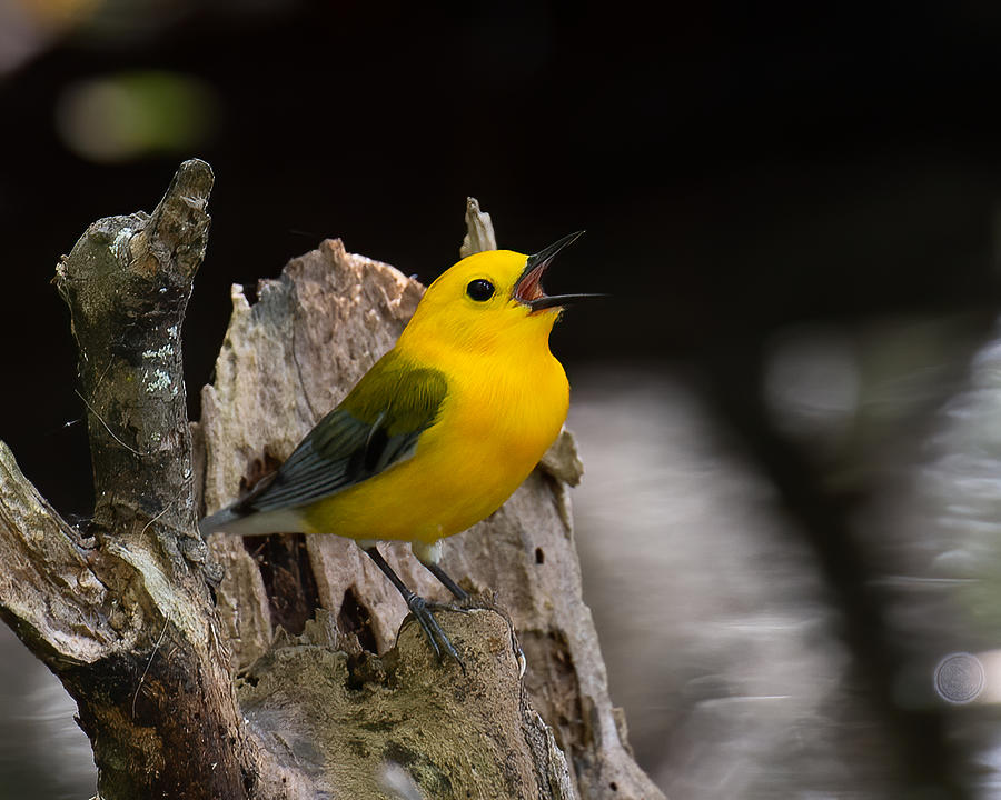 Norther Parula 2 Photograph by Larry Maras