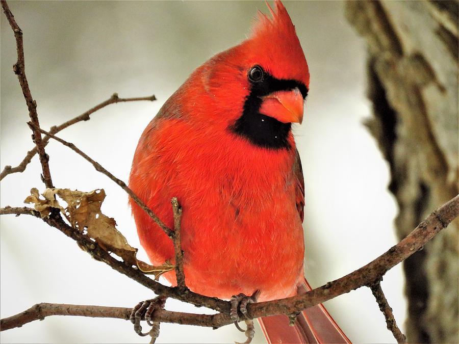 Northern Cardinal in November  by Lori Frisch