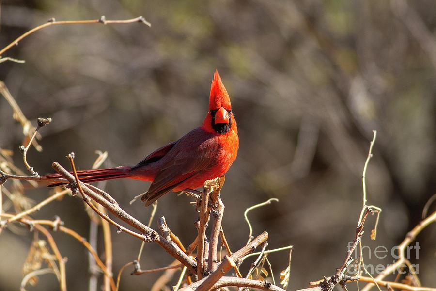 Northern Cardinal Photograph