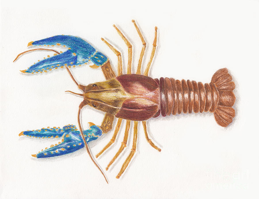 Northern Crayfish Aka Small Dragon Shrimp Drawing