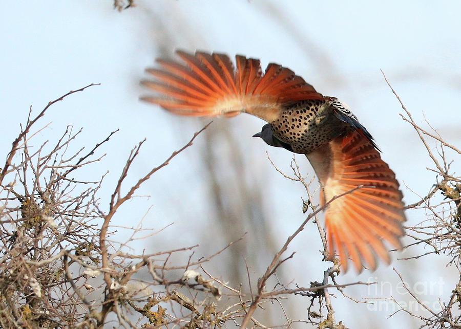 Northern Flicker in Flight by Carol Groenen