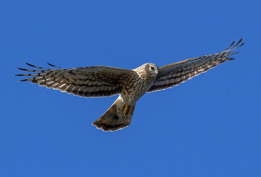 Northern Harrier - 2 Photograph
