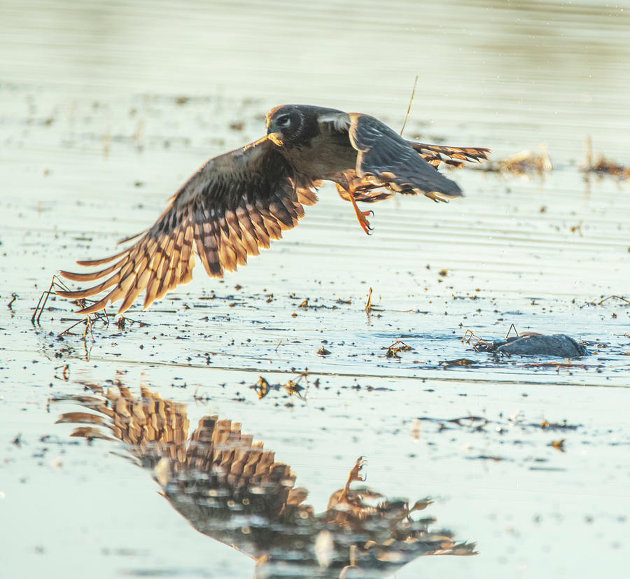 Northern Harrier 4030-011320-2 by Tam Ryan