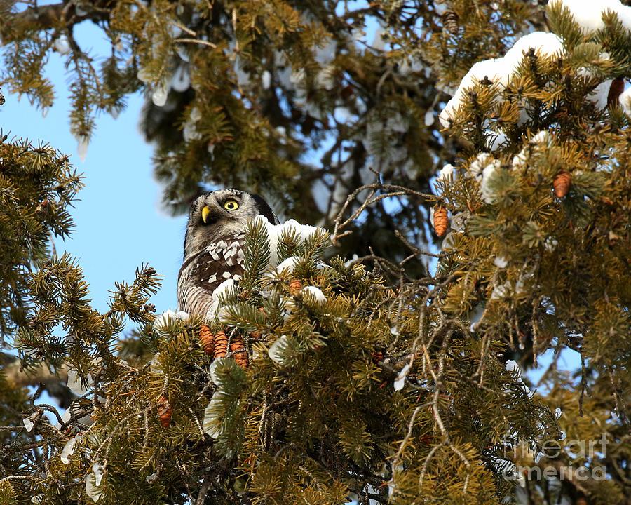 Northern Hawk Owl Photograph