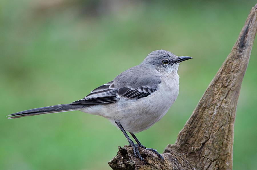 Northern Mockingbird Photograph - Northern Mockingbird by Jim Cook