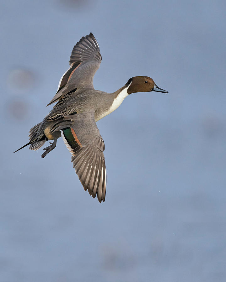 Northern Pintail, Colusa County California by Doug Herr