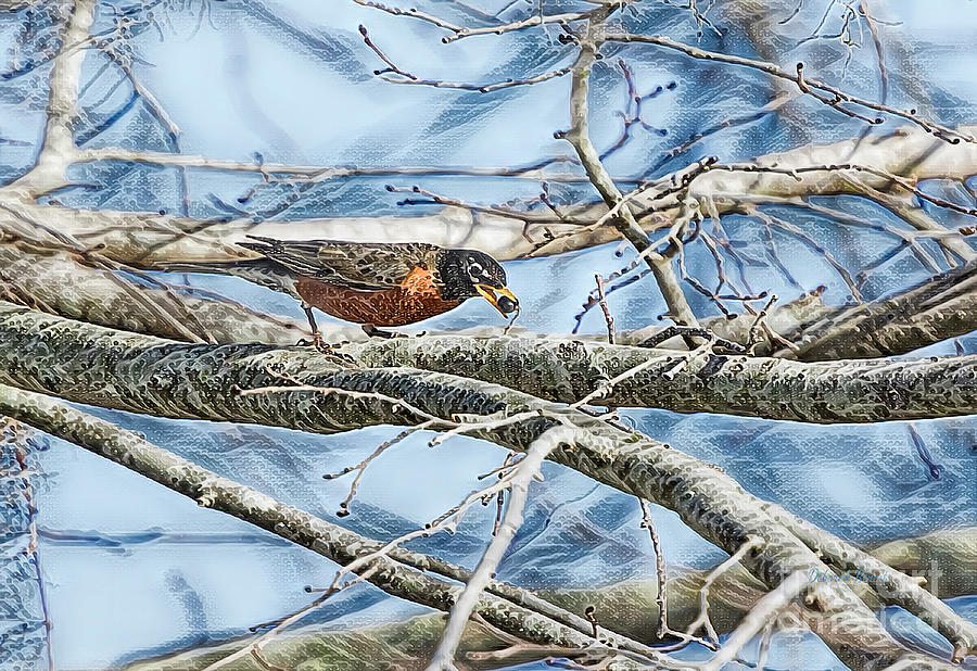 Northern Robin by Deborah Benoit