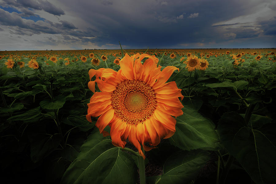 Sunflower Photograph - Not Just Another Face In The Crowd  by Brian Gustafson