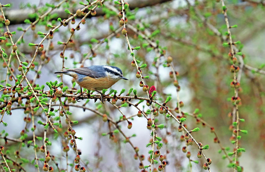 Nuthatch In The Tamarack Photograph