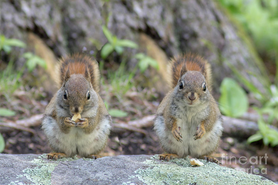 Nutty Squirrels Photograph