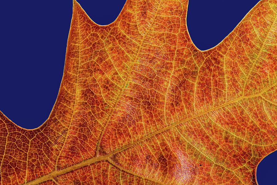 Oak Leaf Detail by Jean Noren