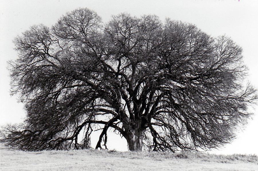 Oak Tree 1981 Photograph
